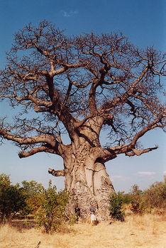 Baobob_tree.jpg